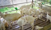 gallery_images_goat_farm5